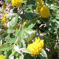 Cytisus battandieri, un arbuste dont les fleurs sentent l'ananas