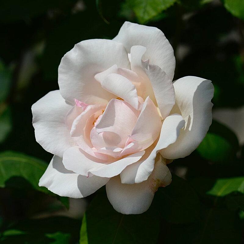 Rose Sophie 23 06-06-18