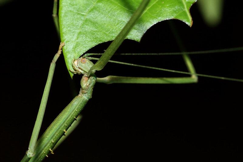 Phanocloidea muricata (femelle immature)