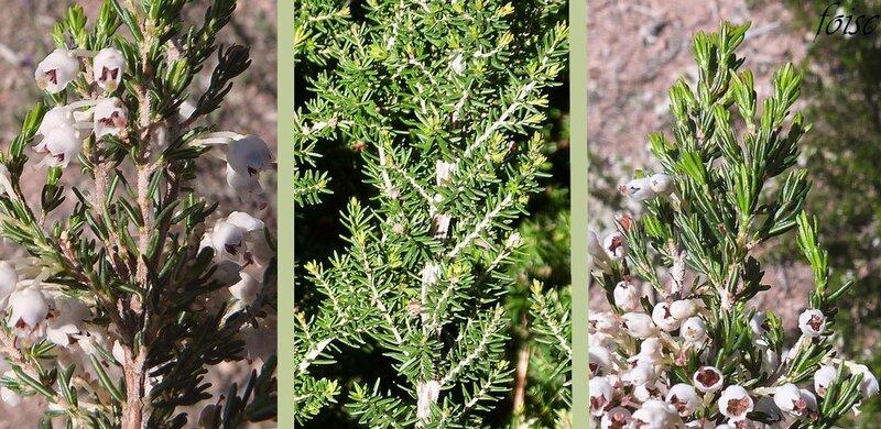 rameaux couverts de poils inégaux feuilles verticillées par 3-4