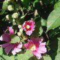 Coeurs de rose (trémière)