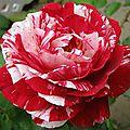 Douceur de roses avec kikifait, 5e inscrite
