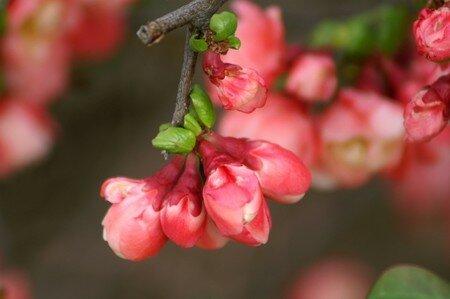 arbre_fleuri003_600