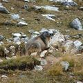 09 - Marmotte