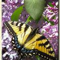 Butterfly (132)