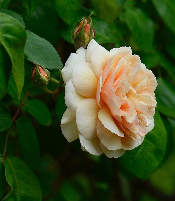 Rose Saumon 1 14-05-21