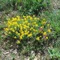 Forêt de Cadarache en fleurs printemps 2015-8