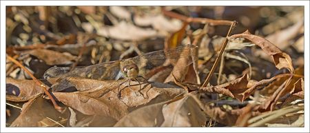 Galuchet_libell_sympetrum_face_agee_201010