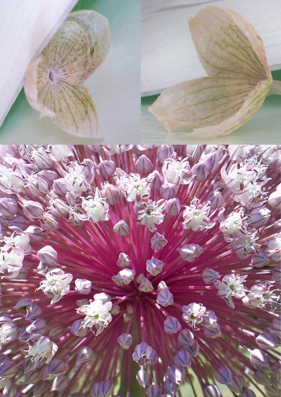fleur_de_poireaux