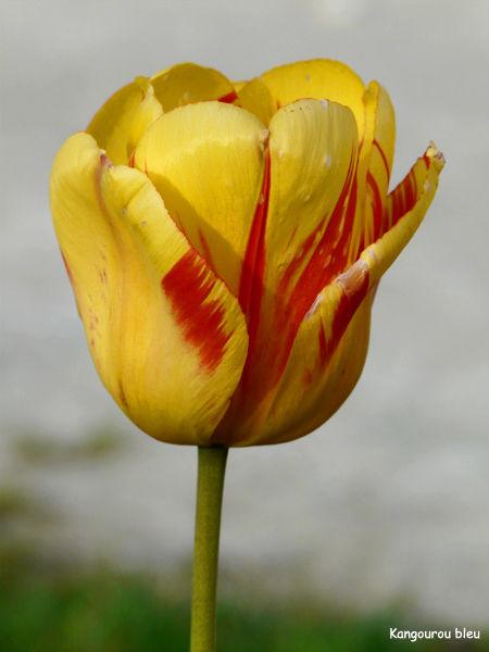 tulipe rouge et jaune