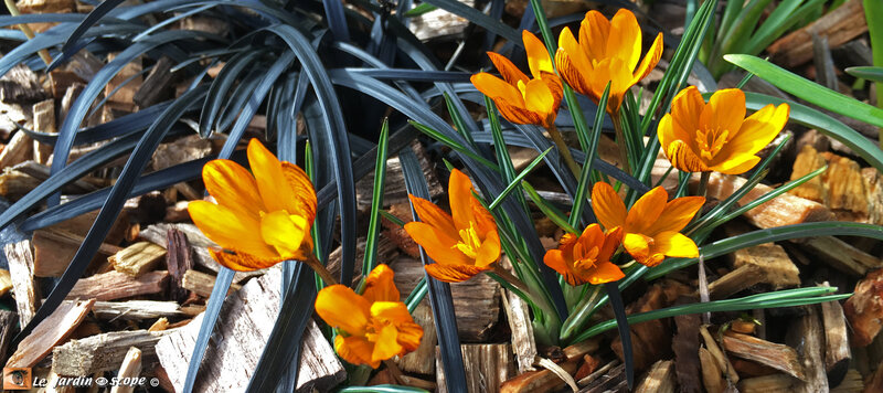 Crocus Monarch