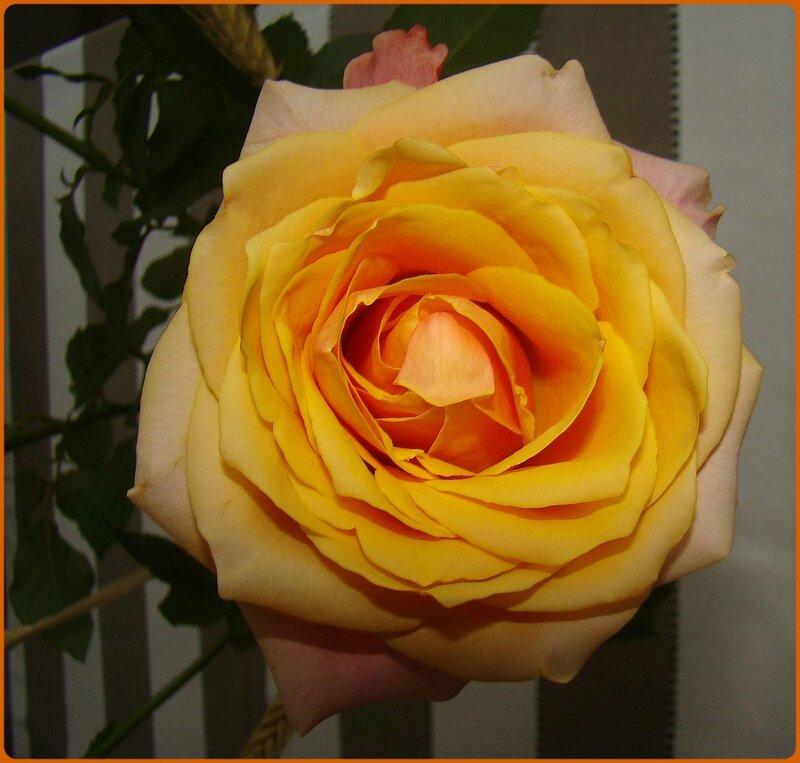 rosejaune1