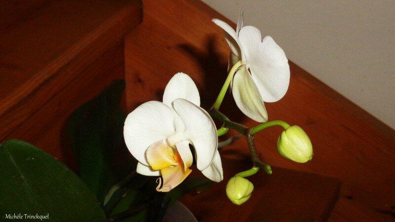 Orchidée blanche 2002162