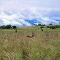 Parc National de Nechisar : Gazelle de Grant