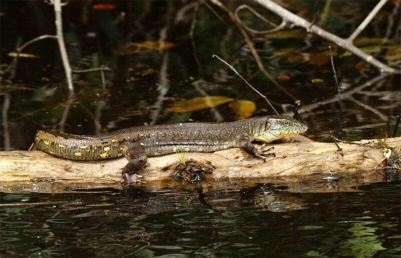 Crocodilurus amazonicus