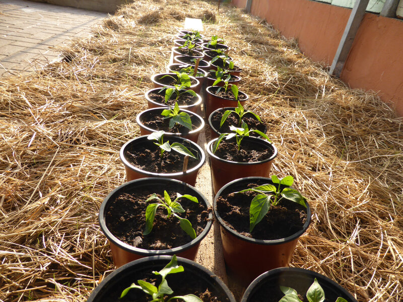 27-poivrons, plants, semis (1)