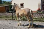 Handy de Maninghem, poulain de Noichoc et Surprise de Marenla - 18 Juin 2017 - Concours élevage local - Hucqueliers (62)