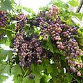 4-vignes, raisins (10)