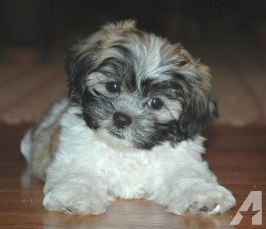 14_CHIOT_CHIEN, SHIH TZU_A_VENDRE_A_ADOPTER_PARTICULIER__ELEVAGE_ELEVEUR_11_34_30,aude_narbonne_ HERAULT_GARD_MONTPELLIER_ NIMES_LUNEL_NEWS_PRESS_CARD_2019_