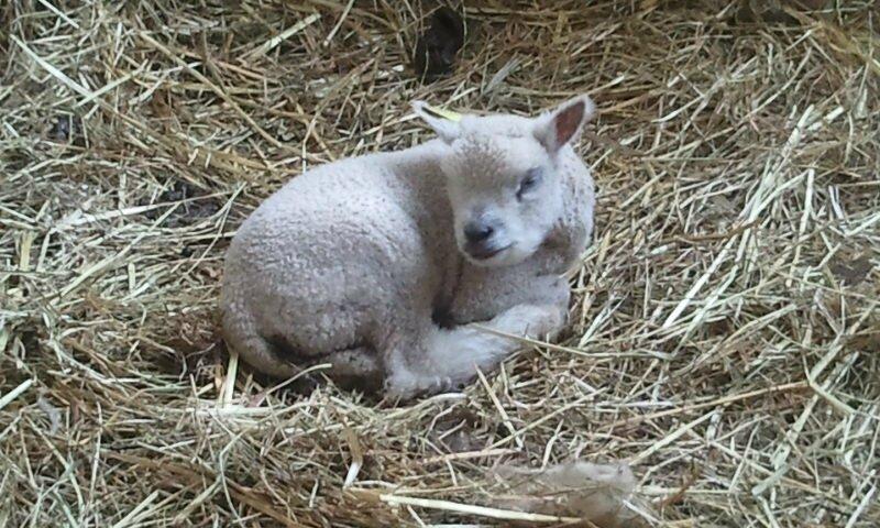 2014-02-23 agneau av 1
