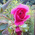 Rose liane.
