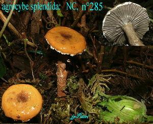 agrocybe_splendida_n_285