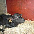 veau de bufflonne