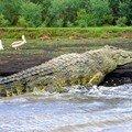 Parc National de Nechisar : Crocodile sur le lac Chamo
