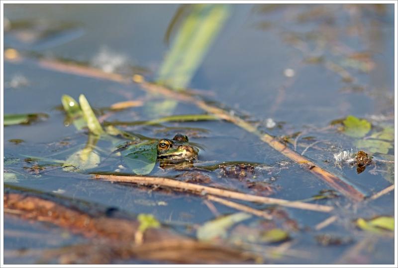 Galuchet grenouille eau 5 270516