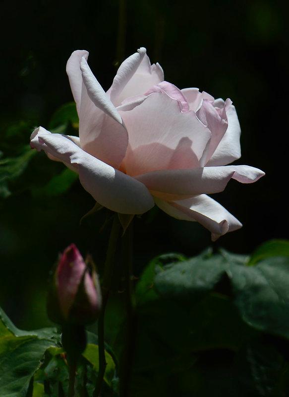 Rose Sophie 8 21-05-21