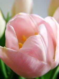 tulipes_029b