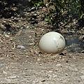 L'œuf dagbegnon de fertilité,puissant marabout voyant fabiyi