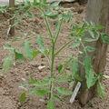 2008 05 13 Un plant de tomate coeur de boeuf sous serre