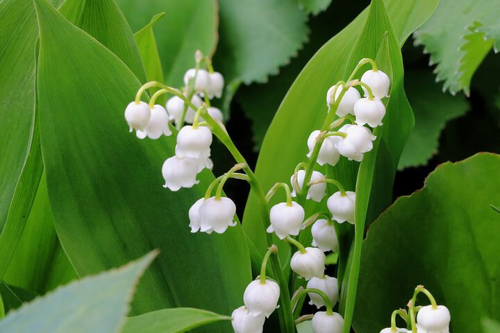 lily-of-the-valley-2312572__480