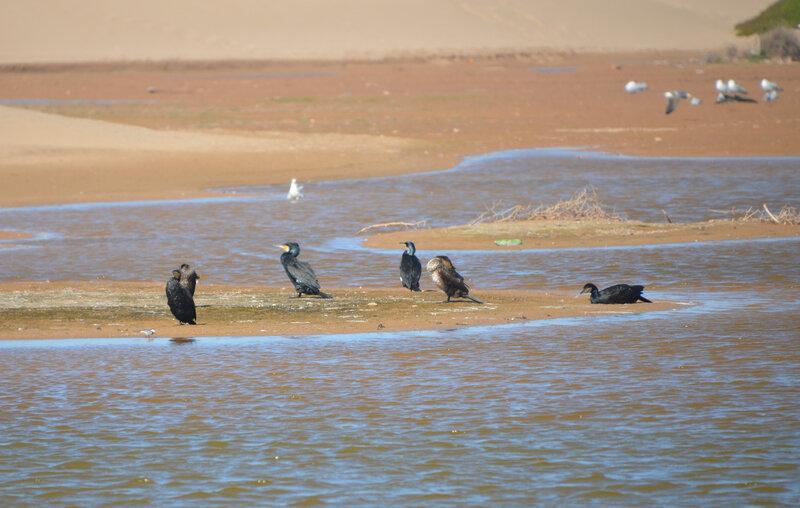 9 gr cormorans