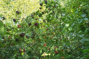 arbre_fruits_rouges_et_noirs
