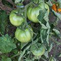 2009 07 06 Tomate Royale des Guineaux