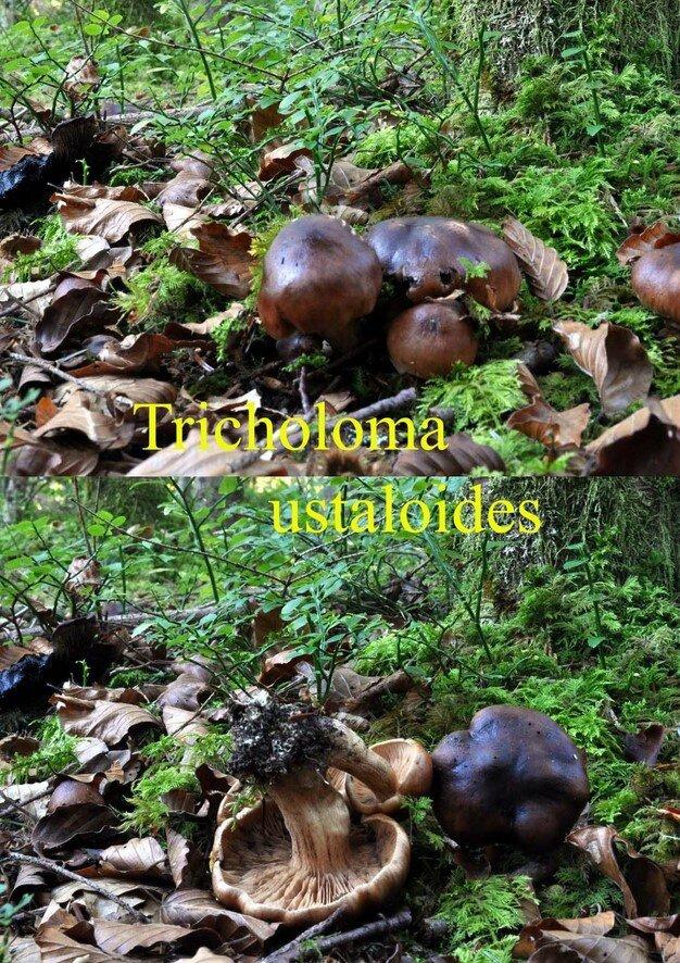 Tricholoma ustaloides