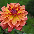 Dahlia 'Tricolore' (Label Rouge)