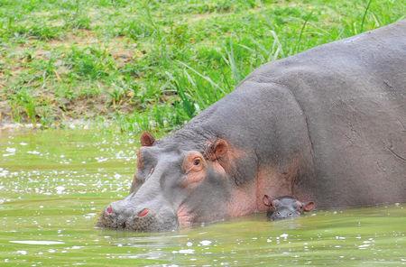 Hippopotames__m_re_et_son_petit__parc_de_Queen_Elizabeth__Ouganda