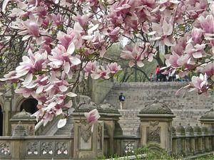 Central Park magnolia
