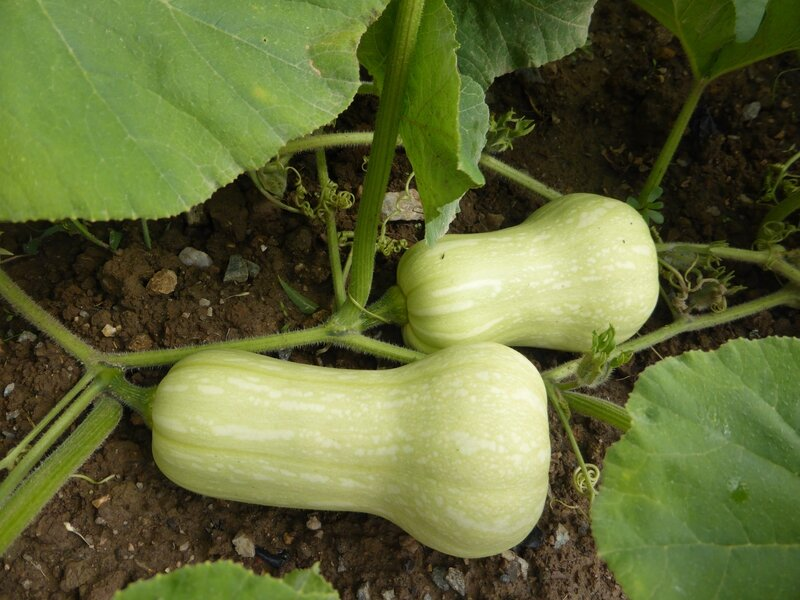 14-courges-butternut (2)