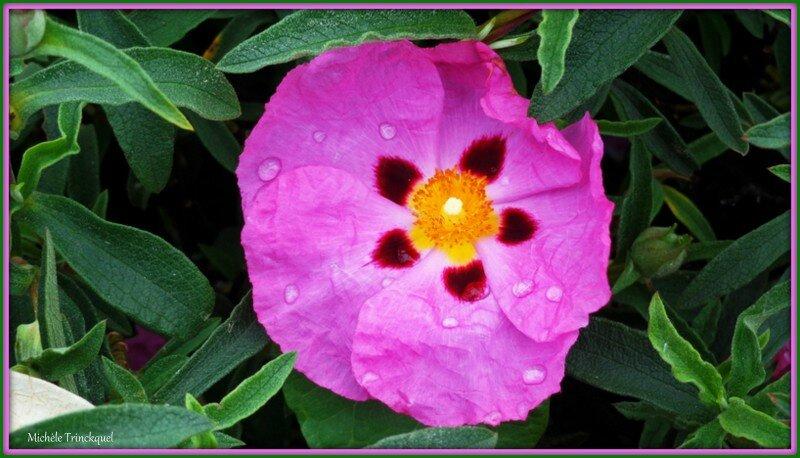 Ciste rose 0405153