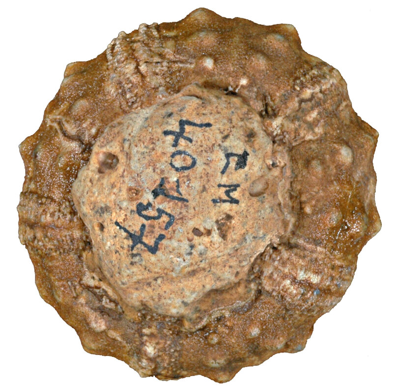 Hemicidaris crenularis EM40157i