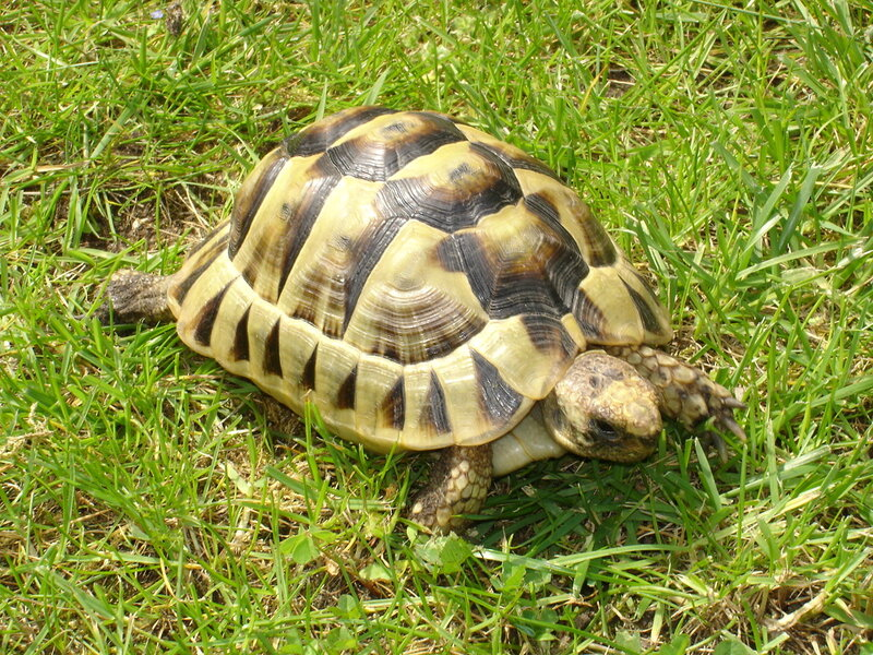 Tortue_