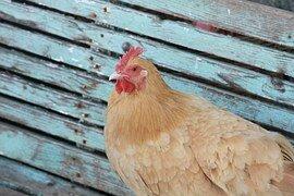poules 2