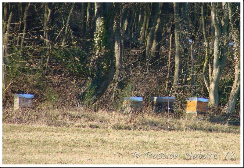 Les abeilles (13)