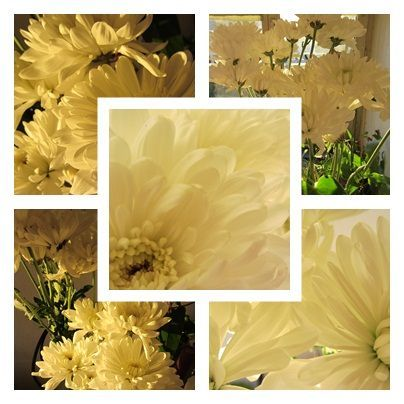 page_chrysantheme