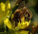 abeille-miel-Apis-mellifera_2886