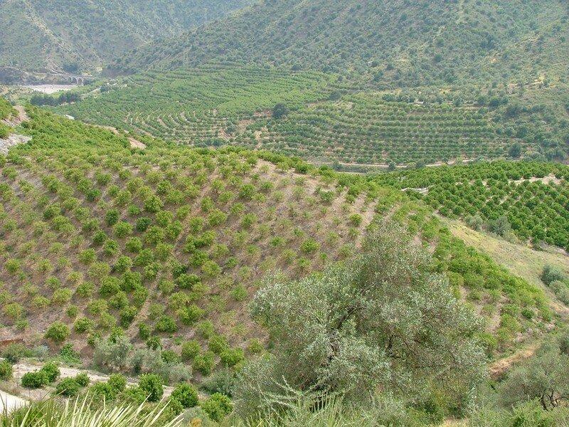 El Chorro, oliviers